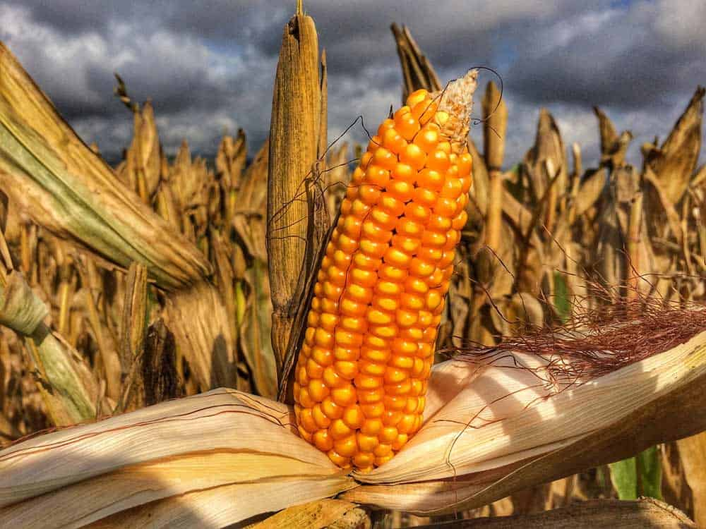 Corn Traded Lower in the Overnight